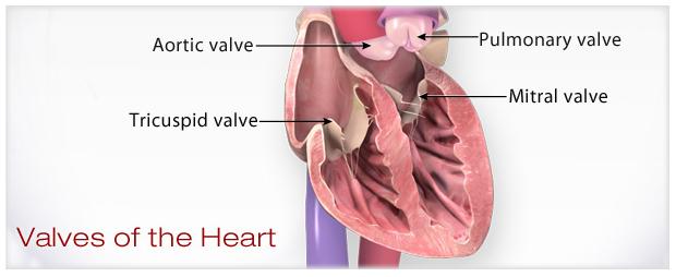 ilustración de las válvulas del corazón