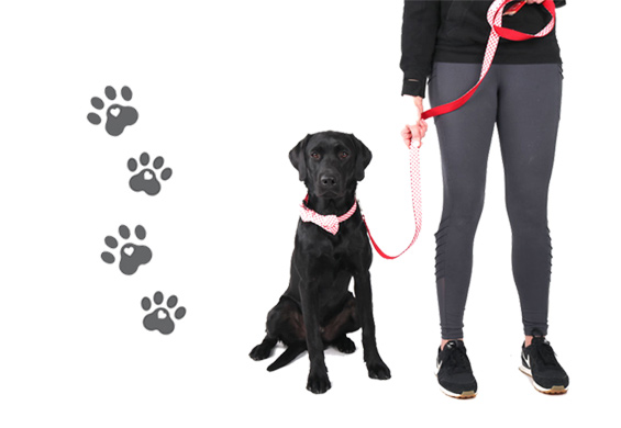 dog with AHA collar and leash