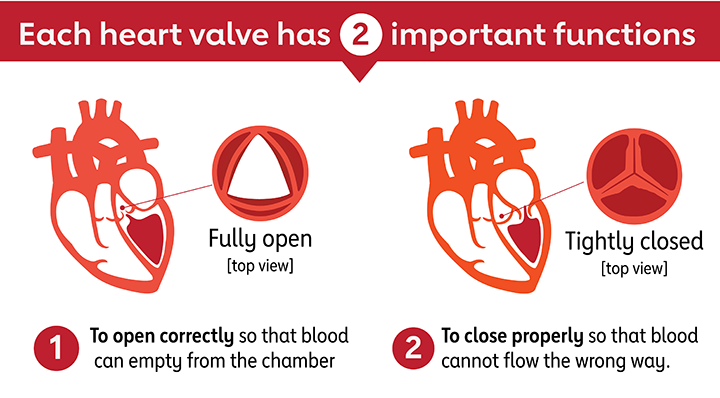 Heart Valve Functions